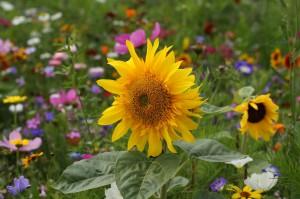 Urban Gardening Sonnenblume
